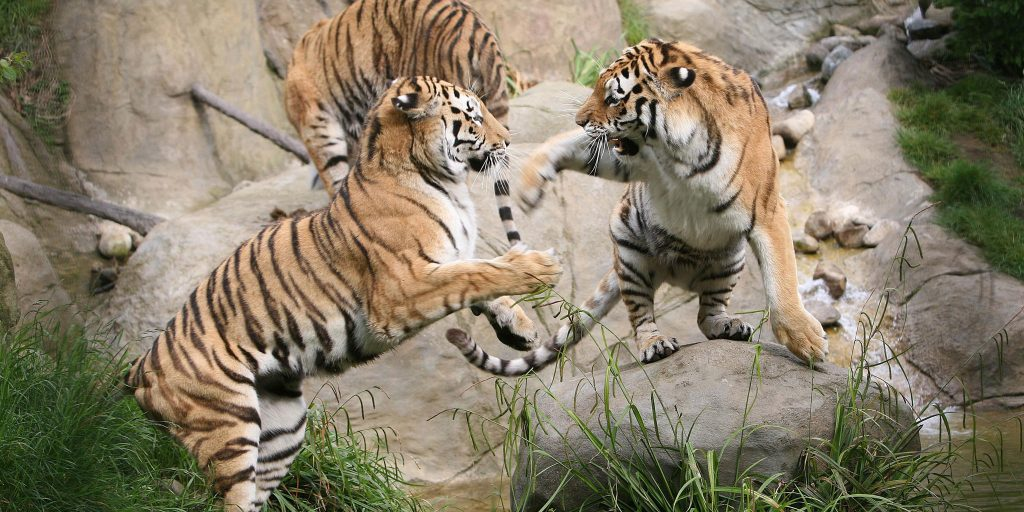 tigers at dublin zoo - clayton hotels